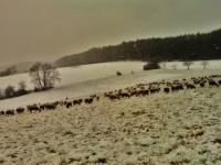 schafe-im-graesig-winter-von-rudolf-muehl