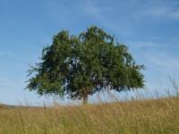 apfelbaum-von-g-kropp