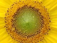 Sonnenblumige-Gruesse-aus-dem-Odenwald-von-gabriela-vogel
