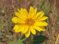 little-sunflower-von-g-kropp